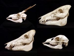 骨・骨格標本の通販ショップ