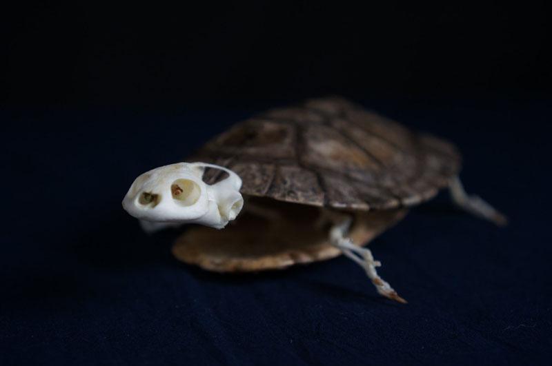 アマゾンカエルガメの全身骨格標本