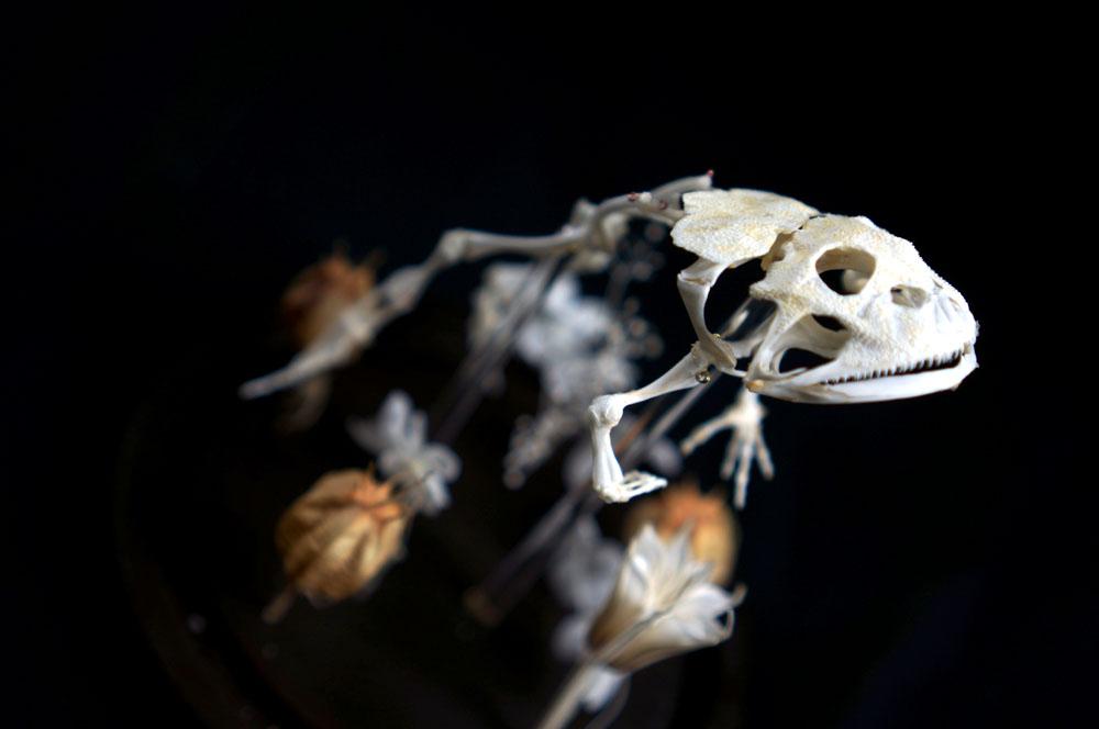 カエルの骨格標本
